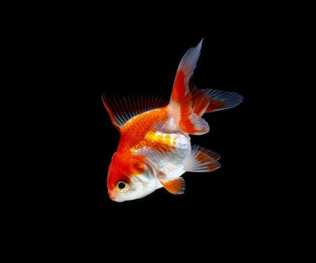 Goldfisch isoliert auf einem dunklen schwarzen hintergrund