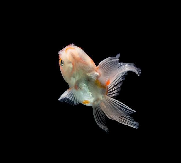 Goldfisch isoliert auf einer dunkelschwarzen oberfläche