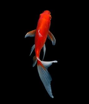 Goldfisch isoliert auf schwarz