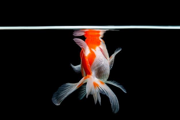Goldfisch isoliert