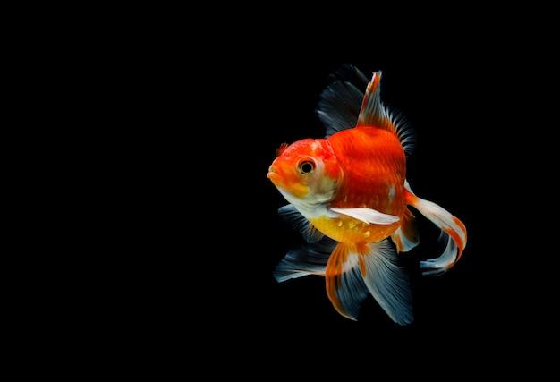 Goldfisch lokalisiert auf einem dunklen schwarzen hintergrund
