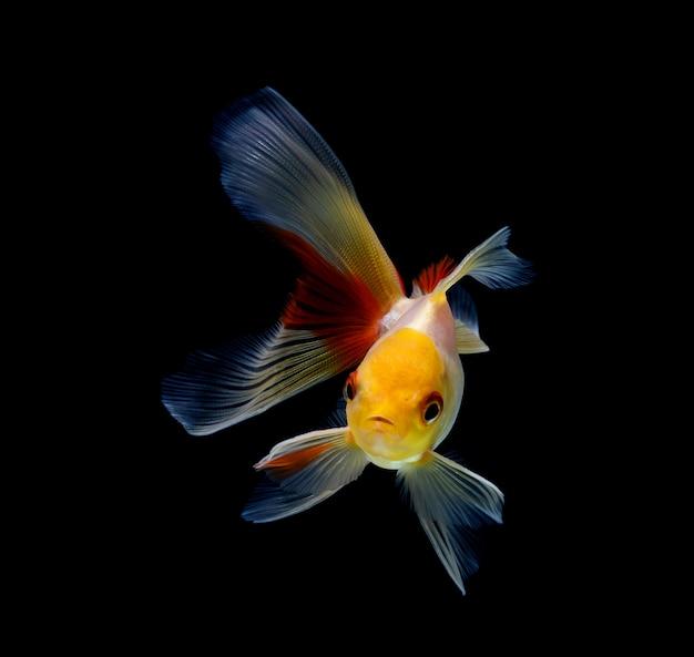 Goldfisch lokalisiert auf einem hintergrund des dunklen schwarzen
