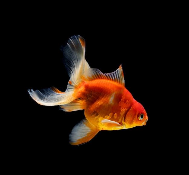 Goldfisch lokalisiert auf schwarzem hintergrund