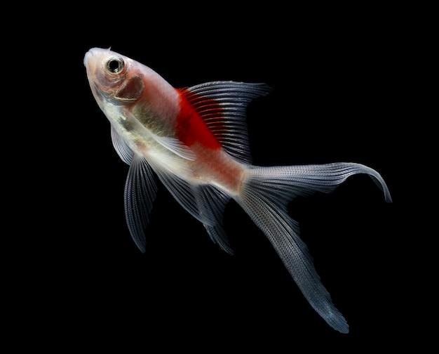 Goldfisch lokalisiert auf schwarzraum