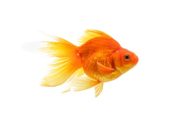 Goldfische schwimmen auf weißem hintergrund