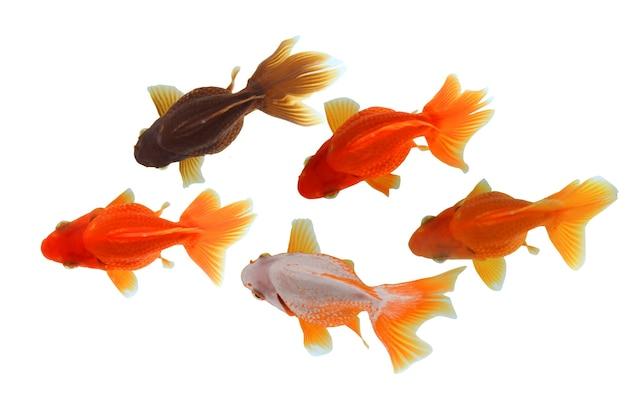 Goldfischschwimmen von oben