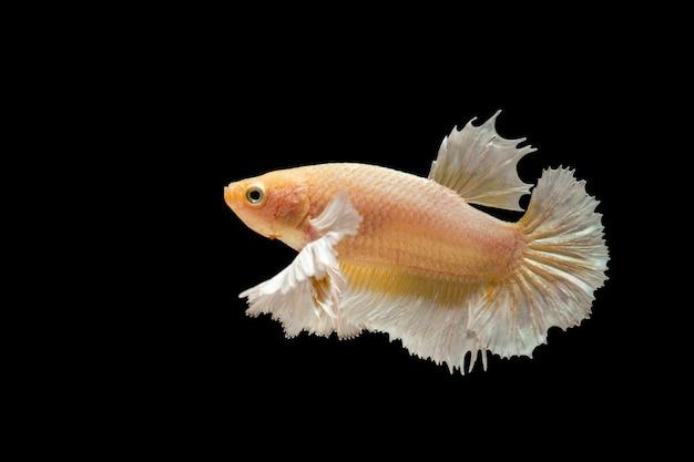 Goldgelber bettafisch auf schwarzem hintergrund