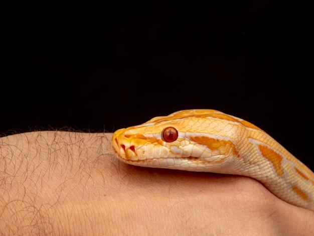 Goldpython, netzpython (python reticulatus).