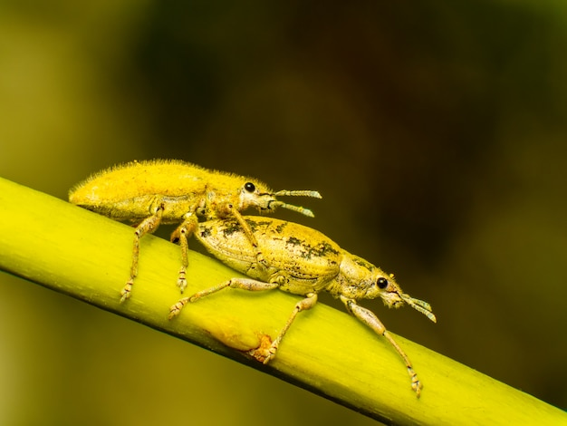 Goldstaub-rüsselkäfer hypomeces squamosus fabricius
