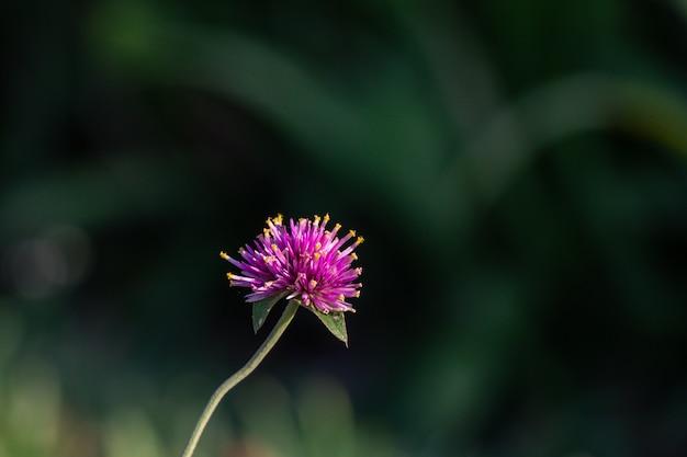 Gomphrena-pulchella feuerwerksblume in einem garten. rosa blume des selektiven fokus.