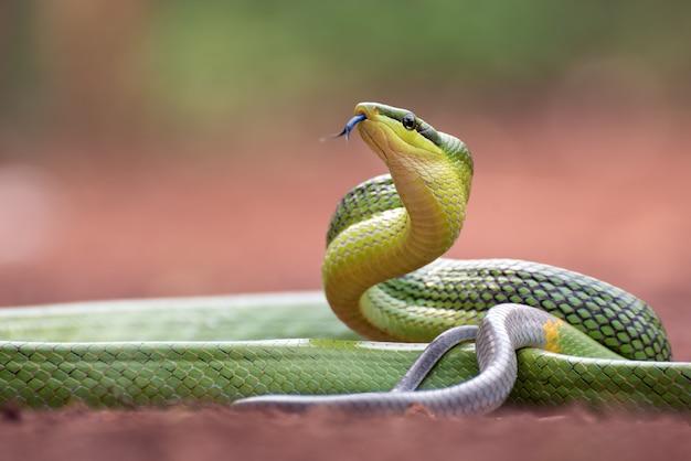 Gonyosoma oxycephalum, bekannt als rotschwanzige grüne rattenschlange