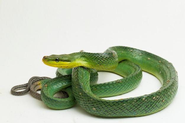 Gonyosoma oxycephalum, die rotschwanzige grüne rattenschlange, auf weiß.