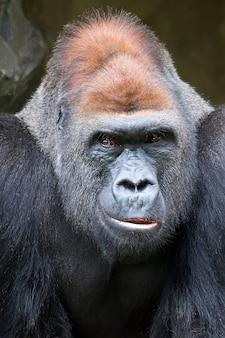 Gorilla, ein porträt