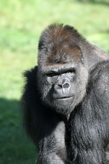 Gorilla in der natur