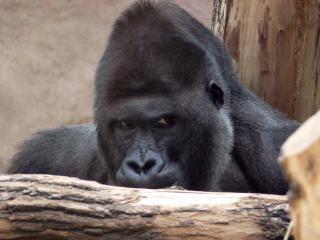 Gorilla, primaten
