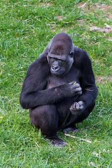 Gorilla sitzt auf dem rasen