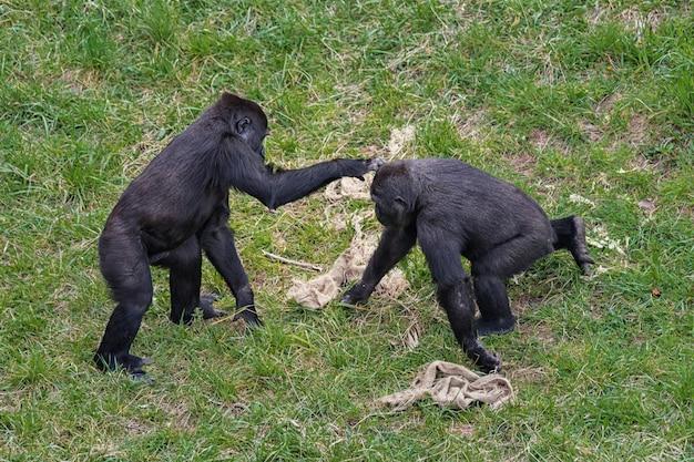 Gorillas spielen auf einer wiese,