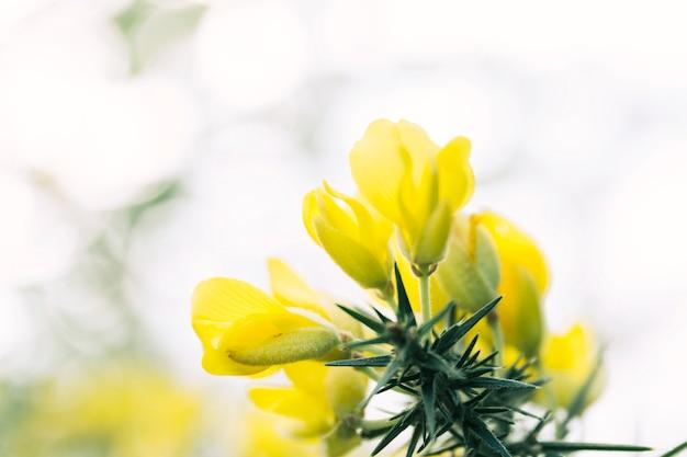 Gorsebusch bedeckt mit gelben blumen