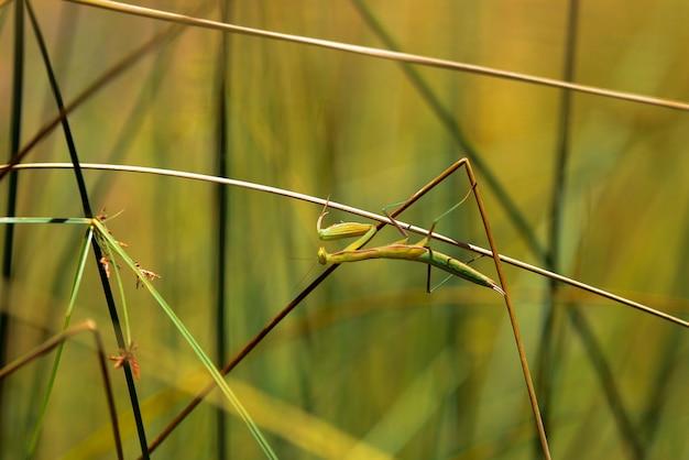 Gottesanbeterin im gras