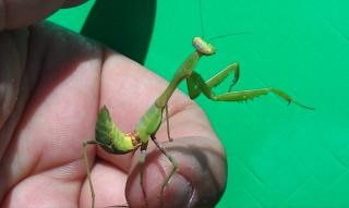 Gottesanbeterin insekt