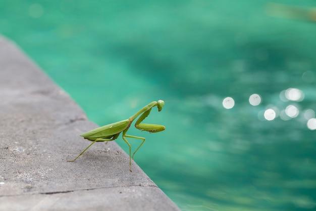 Gottesanbeterin, mantis religiosa, nahaufnahme. insel bali, indonesien