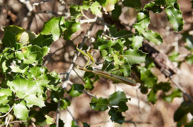 Gottesanbeterininsekt auf grünen blättern