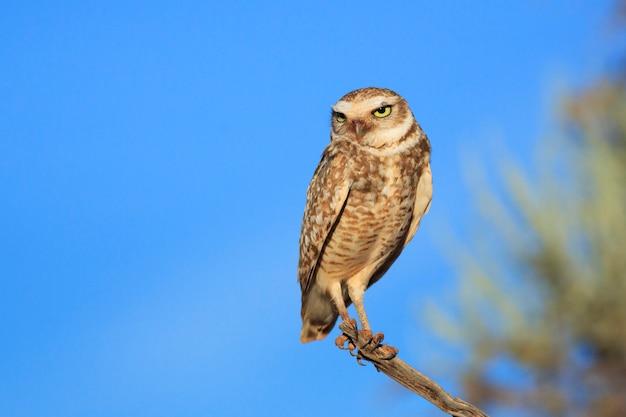 Graben von owl perches auf niederlassung in arizona