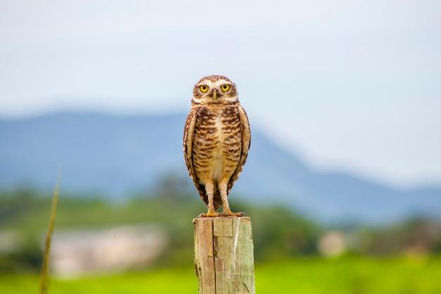 Grabende eule, sehr populärer vogel in brasilien