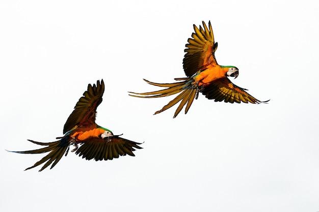 Grace flight von schönen papageienkernen