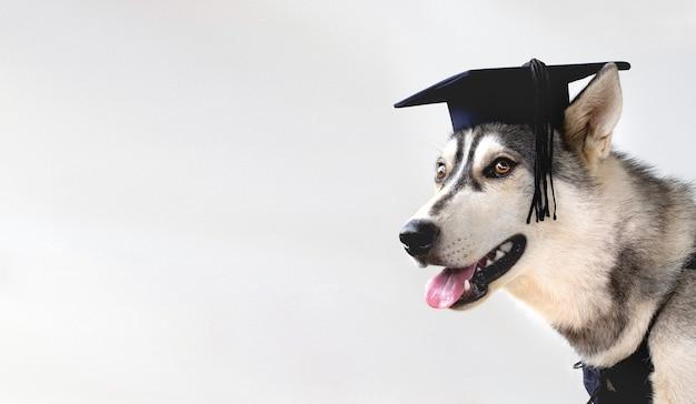 Graduate husky hündchen auf einem weißen hintergrund mit kopienraum