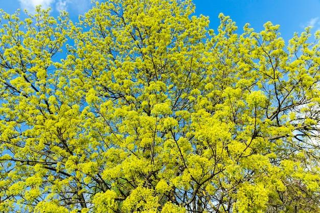 Grafische nahaufnahme grüner und gelber blüten eines blühenden baumahorns. frühling