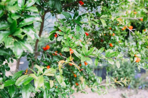 Granatapfel-granatfruchtblume frische granatblume auf laubhintergrund