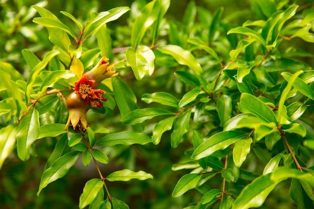 Granatapfelbaum mit kleinen früchten, wilder baum. platz kopieren.