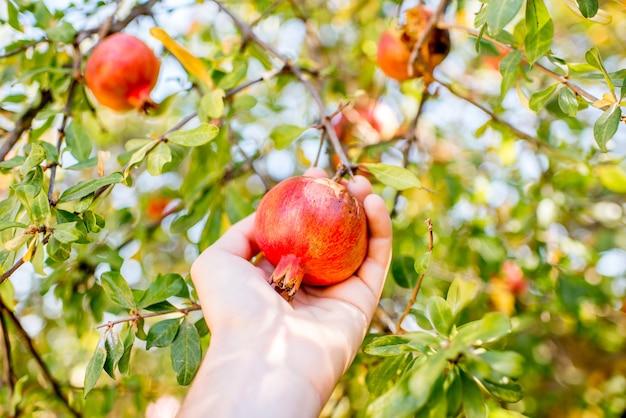 Granatapfelfrüchte vom baum pflücken