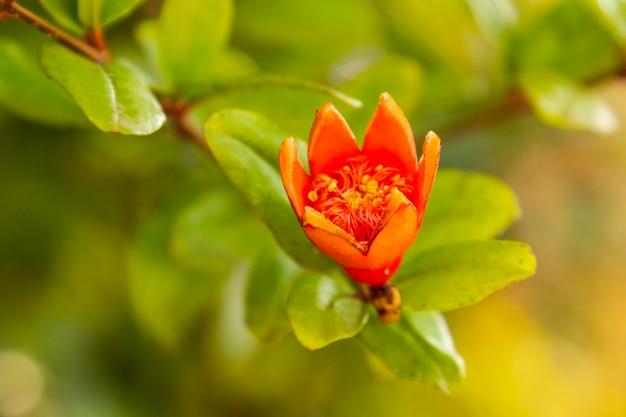 Granatbaum blume nahaufnahme hintergrund. orangefarbene blumen auf einem granatapfelzweig auf einem verschwommenen hintergrund