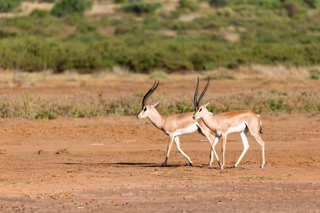 Grant gazelle in der savanne von kenia
