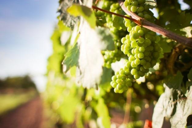 Grapevine und trauben