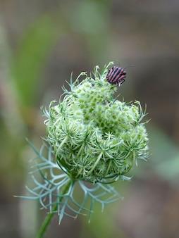 Graphosoma lineatum käfer mit roten und schwarzen streifen oben auf der blüte