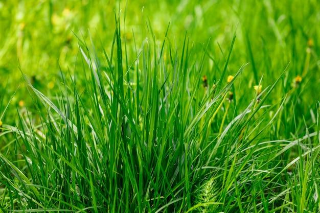 Gras am frühen morgen.