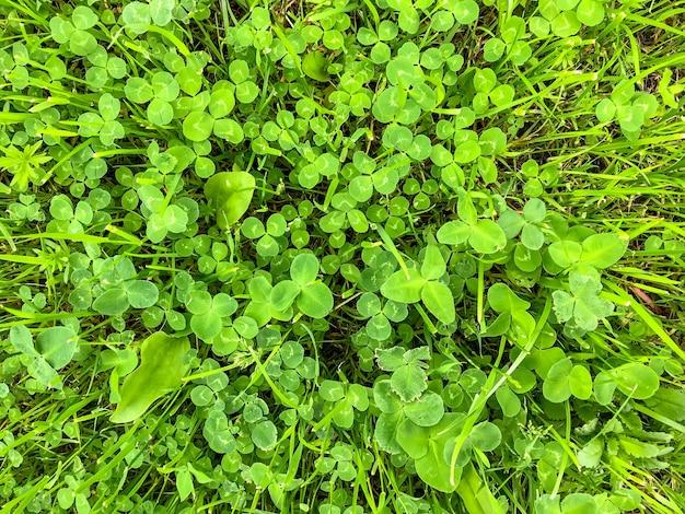 Gras auf rasen. grüner hintergrund des rasens. hintergrund der natur. saftiges grünes gras. frischer teppichrasen. textur grünes gras im feld. muster grün. nahtlose natürliche texturen. platz für text oder logo