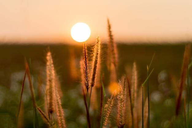 Gras blume und sonnenuntergang
