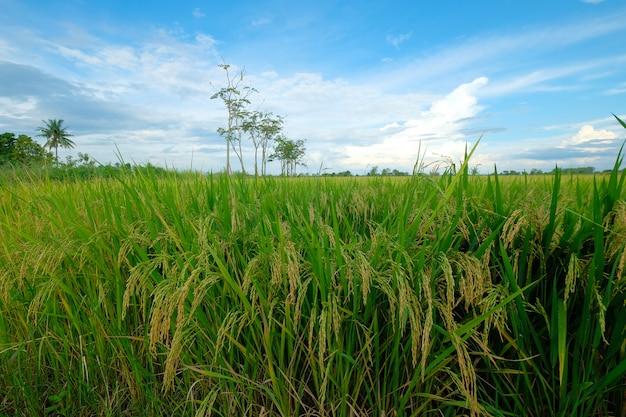 Gras, das bereit ist, geerntet zu werden