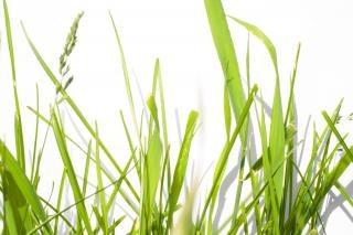 Gras kräftig grünen
