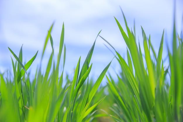 Gras nahaufnahme.