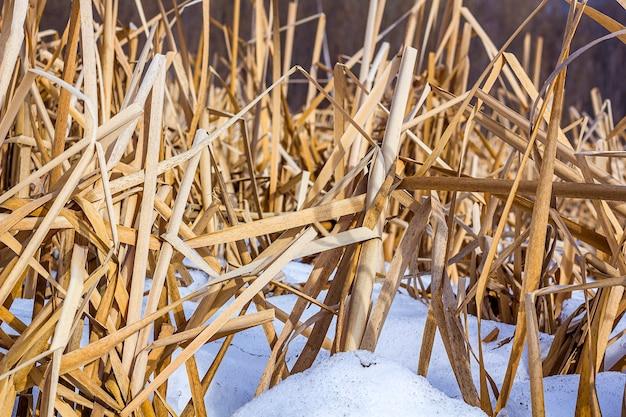 Gras oder blätter von trockenem schilf im winter im schnee.