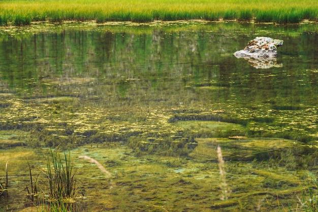 Gras wachsen im ruhigen trinkwasserabschluß auf. unterseite des sumpfigen stauwassers von gebirgssee mit stein. bäume spiegeln sich in einer idealen glatten wasseroberfläche wider. grüne atmosphärische natur des hochlands.