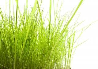 Gras weiß freien