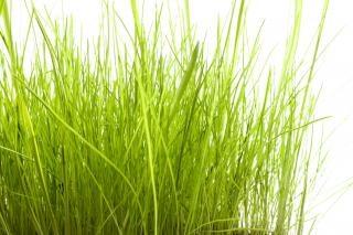 Gras weiß
