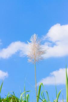 Grasblume auf blauem himmel