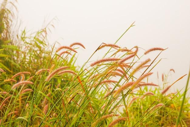 Grasblume mit morgennebel